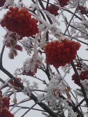 Mountain ash berries bring some needed colour to winter.