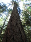 Giant fir at Englishman River Prov. Park